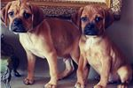 Picture of Adorable Chubby Puggle! microchipped *health guara