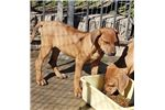 Picture of Rhodesian Ridgeback puppy! microchip *vet checked