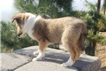 Picture of Sable and white Shetland Sheepdog puppy! microchip