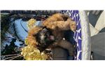 Picture of Soft Coated Wheaten puppy! microchipped