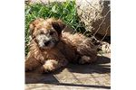 Picture of Soft Coated Wheaten Puppy! Microchip vet checked