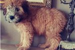 Picture of Gorgeous Soft Coated Wheaten Terrier Puppy! microc