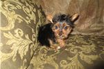Picture of Teacup Yorkie puppy! microchipped vet checked