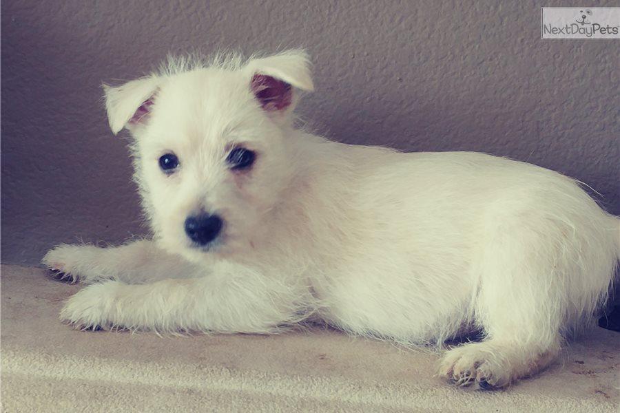 West Highland White Terrier - Westie puppy for sale near San Diego