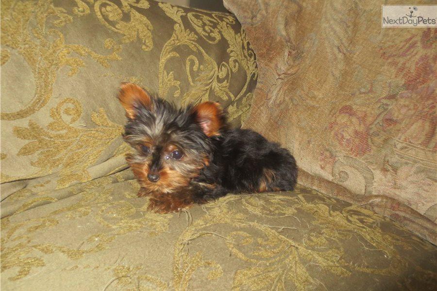 Yorkshire Terrier - Yorkie puppy for sale near San Diego, California