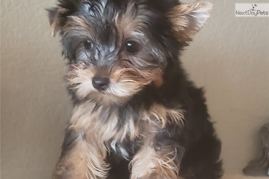 Yorkshire Terrier - Yorkie puppy for sale near San Diego