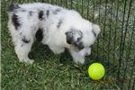 Picture of Beautiful Blue Merle Female!  Flashy!