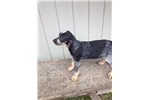 Picture of Beautiful UKC Registered Female Puppy
