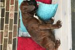 Picture of AKC Boxer- Honey