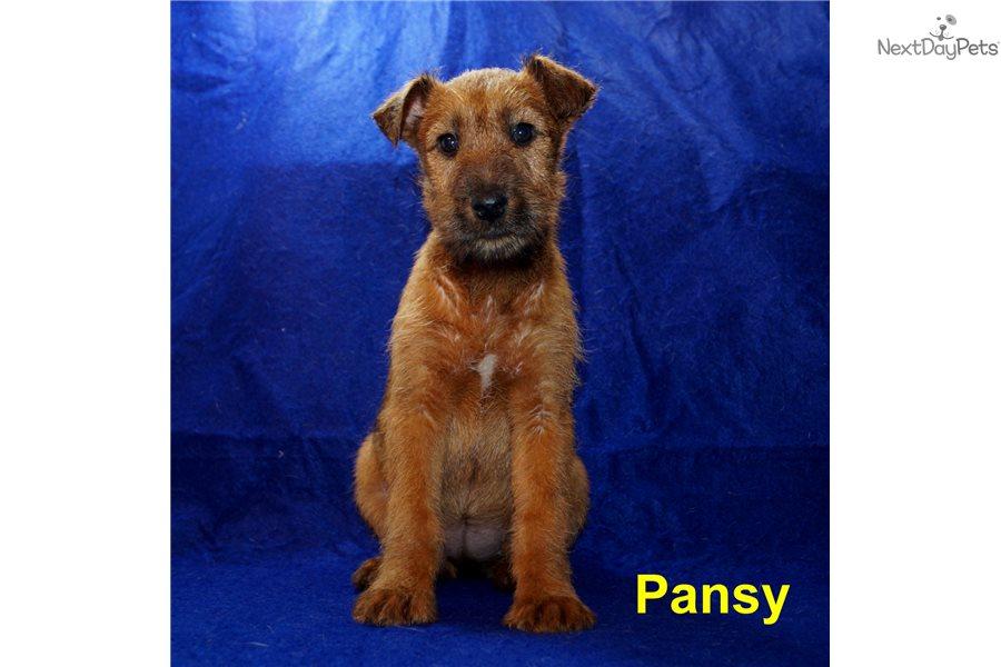 Pansy Irish Terrier Puppy For Sale Near Springfield Missouri