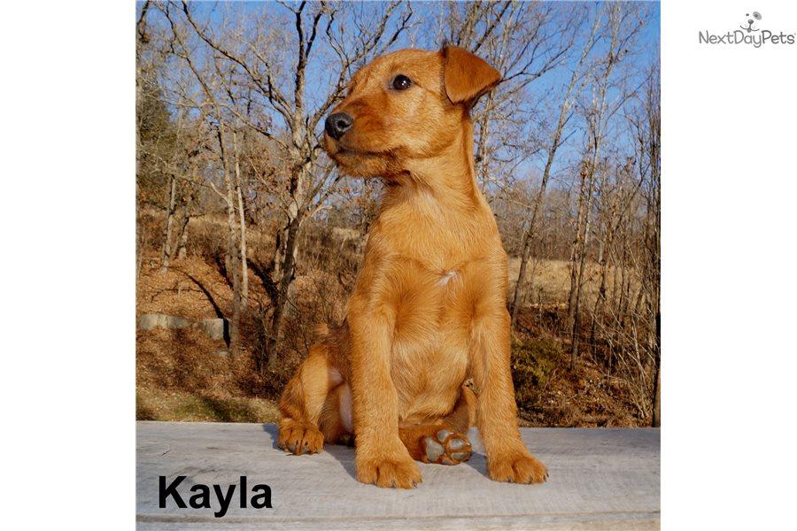 Irish Terrier Puppy For Sale Near Springfield Missouri 749b8cc2 F381