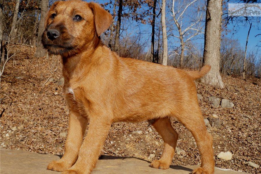 Irish Terrier Puppy For Sale Near Springfield Missouri 4ff17bcf 01e1