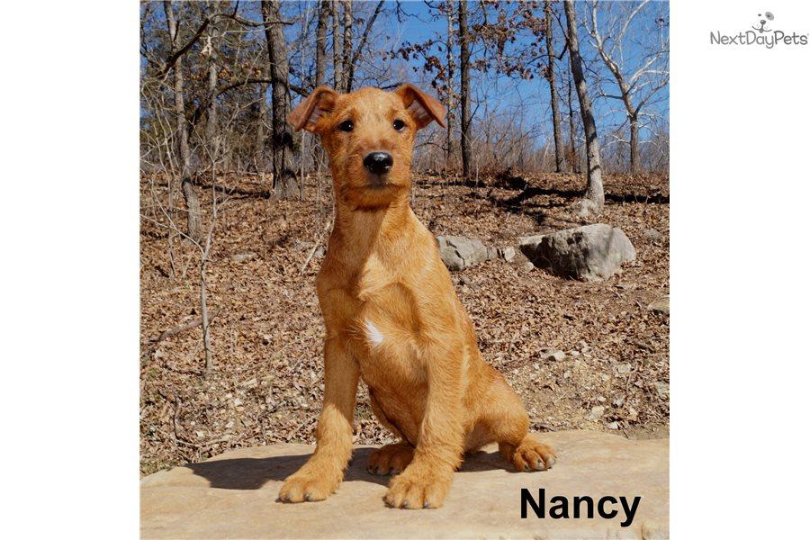 Nancy Irish Terrier Puppy For Sale Near Springfield Missouri