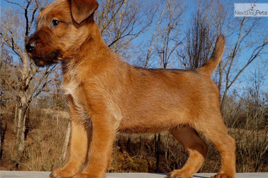 Nora Irish Terrier Puppy For Sale Near Springfield Missouri