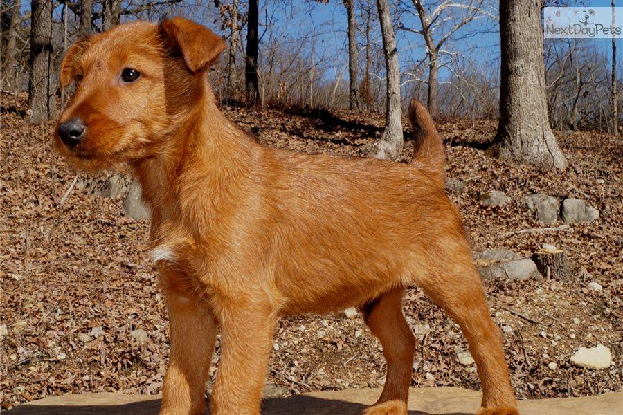 Irish Terrier For Sale Georgia Robby: Irish Terrier p...