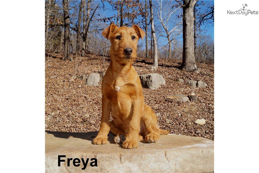 Irish Terrier Puppy For Sale Near Springfield Missouri 83b5d4cd 2f91