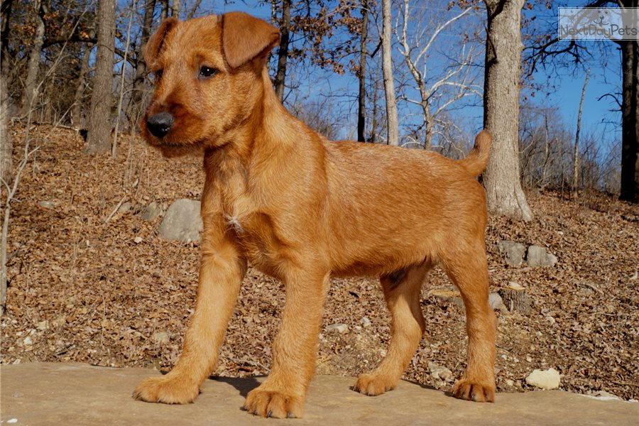 Irish Terrier Puppy For Sale Near Springfield Missouri 26b40ffe C2a1