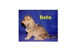 Picture of a Swedish Vallhund Puppy