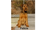 Picture of an Irish Terrier Puppy