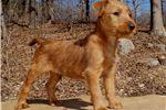 Irish Terrier for sale