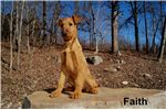 Irish Terriers for sale