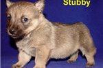 Picture of Swedish Vallhund boy