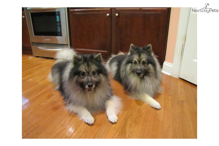 Keeshond Puppy For Sale Near Eastern Nc North Carolina Aed3df06 8a21
