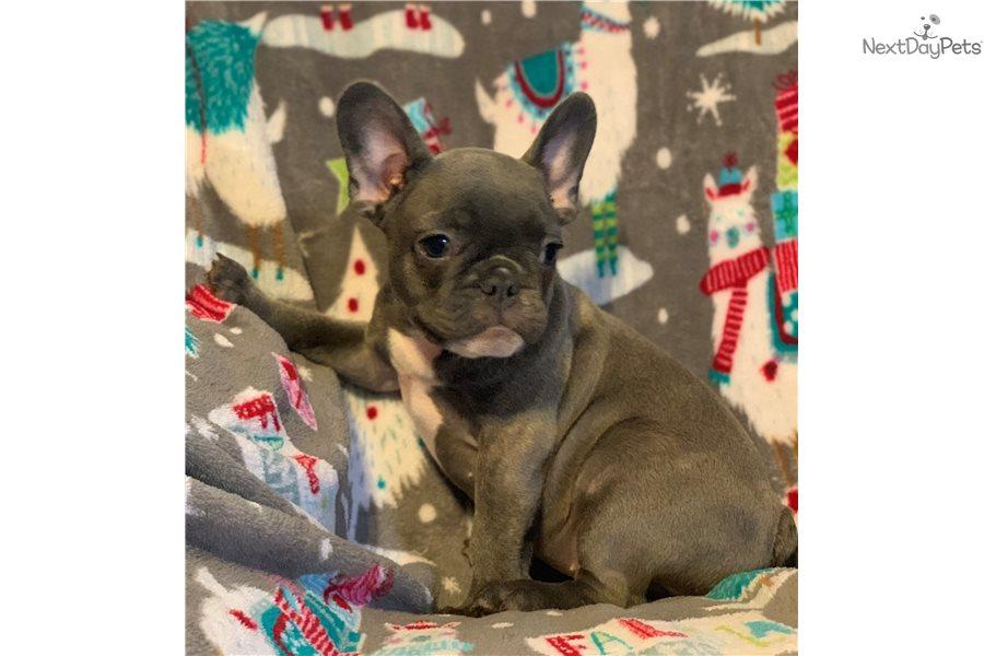 Blue French Bulldog Puppies For Sale San Antonio Tx