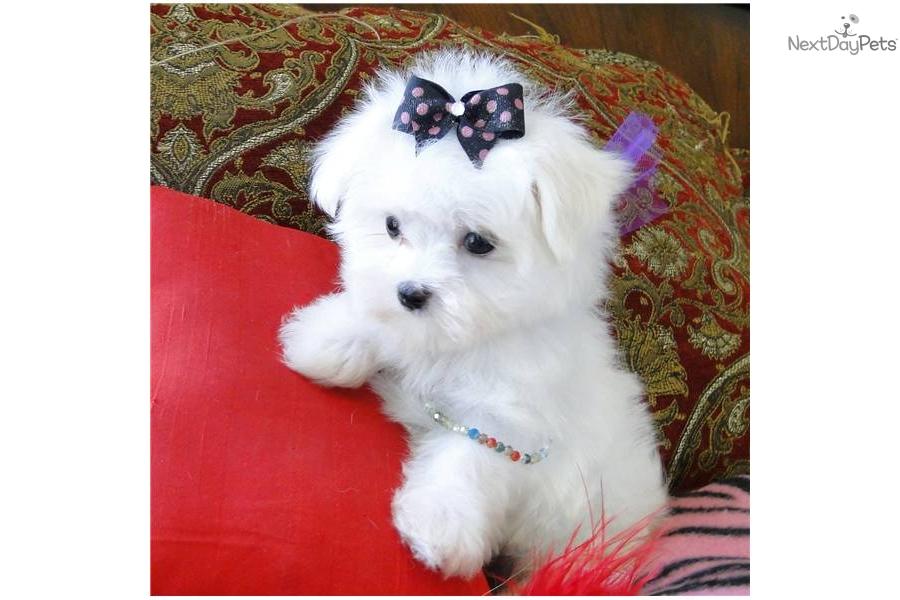 Maltese Puppy For Sale Near Dallas Fort Worth Texas