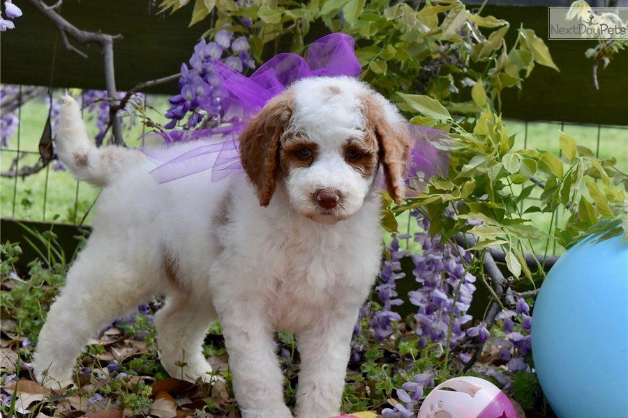 Randa Labradoodle Puppy For Sale Near Dallas Fort Worth