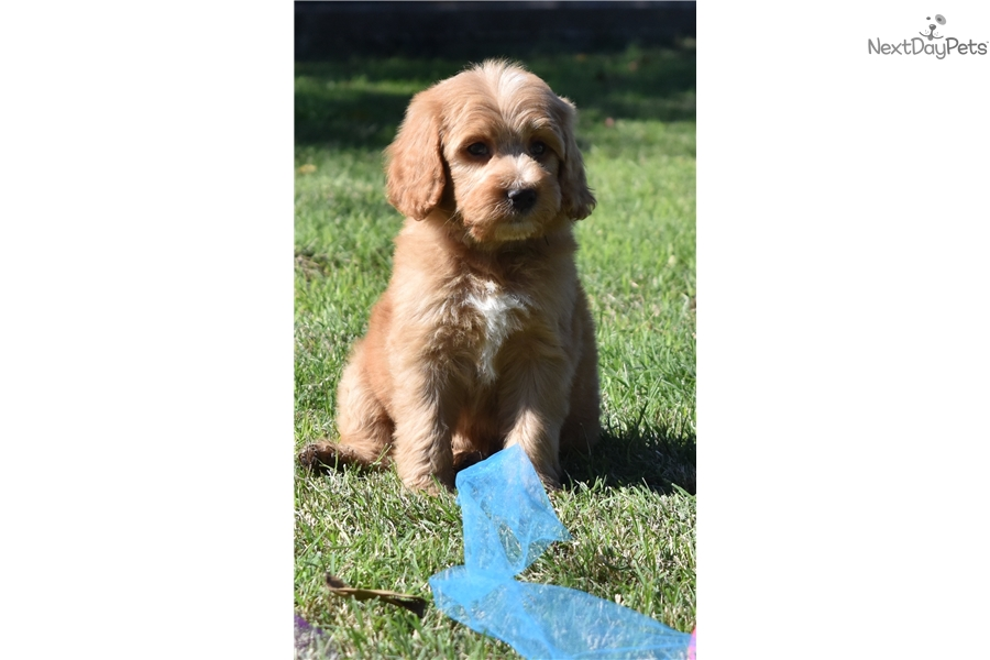 Houston: Labradoodle puppy for sale near Dallas / Fort Worth, Texas