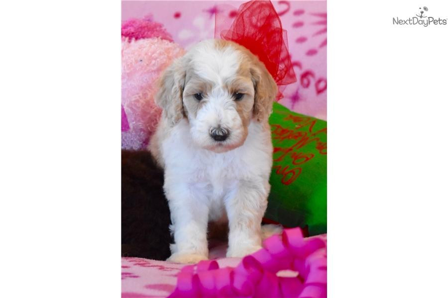 Wrigley: Labradoodle puppy for sale near Dallas / Fort Worth, Texas