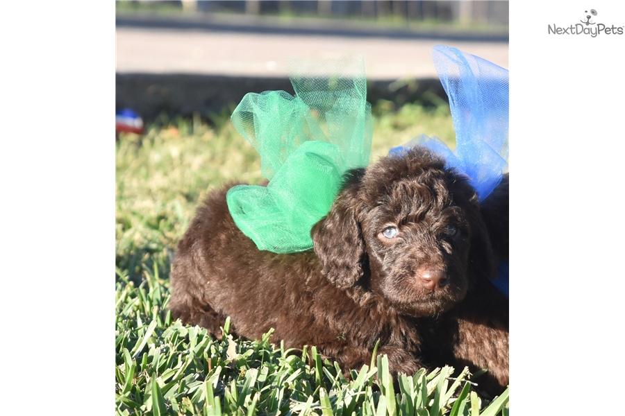 Gracies Grant Labradoodle Puppy For Sale Near Dallas