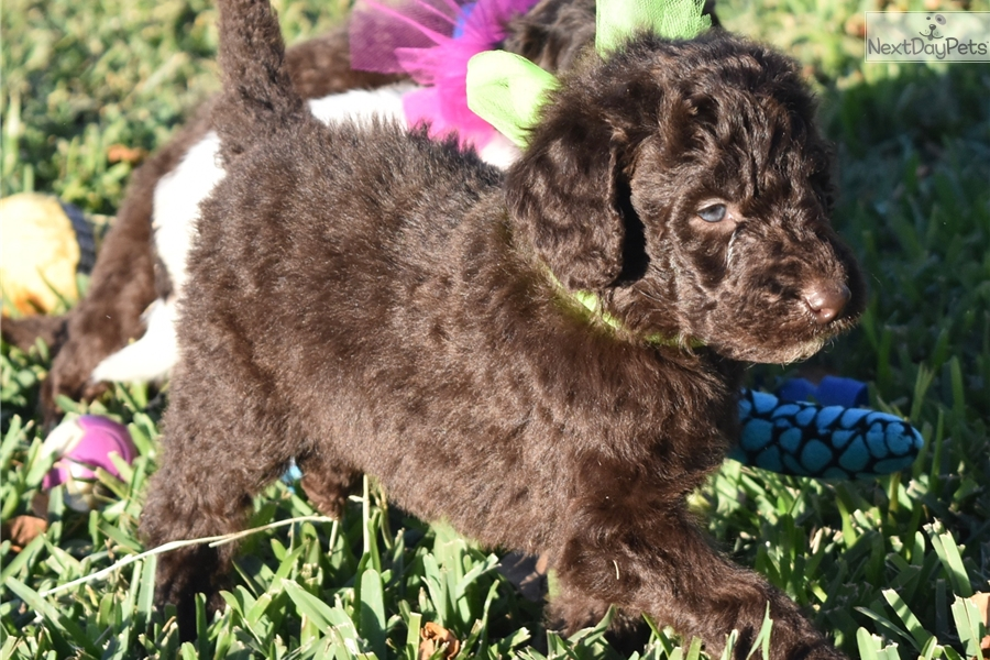 Gracies Garrett Labradoodle Puppy For Sale Near Dallas