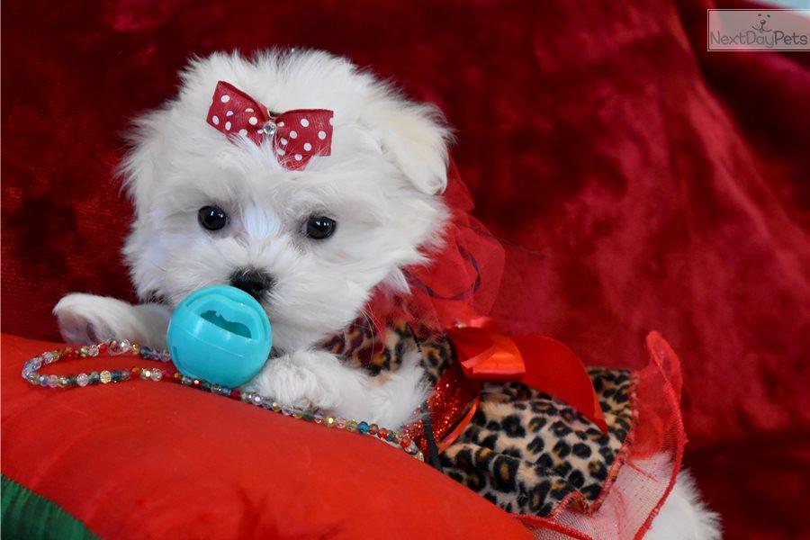 Cherrie Maltese Puppy For Sale Near Dallas Fort Worth Texas