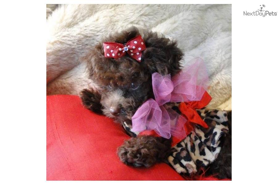 chocolate maltipoo puppies - photo #41