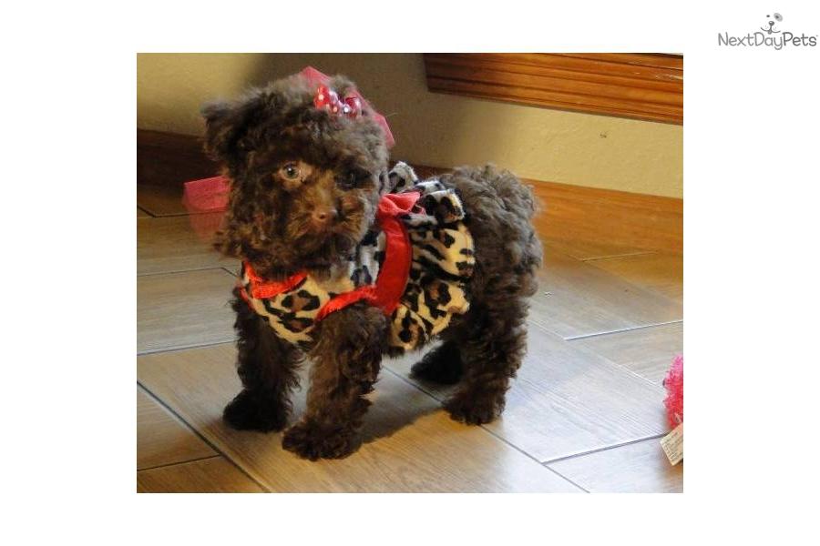 chocolate maltipoo puppies - photo #21