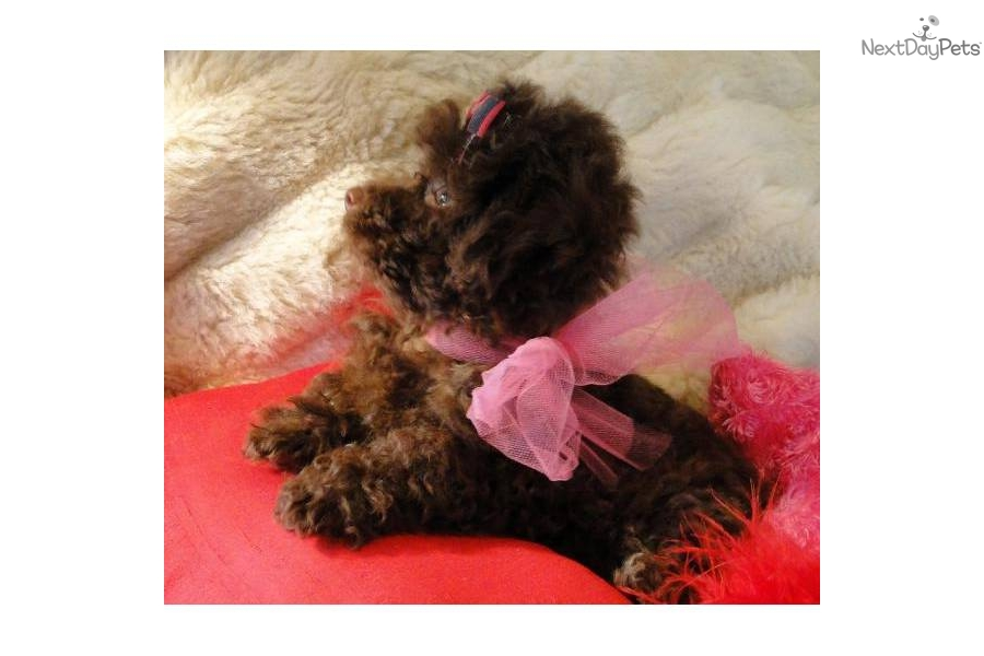 chocolate teacup maltipoo - photo #38