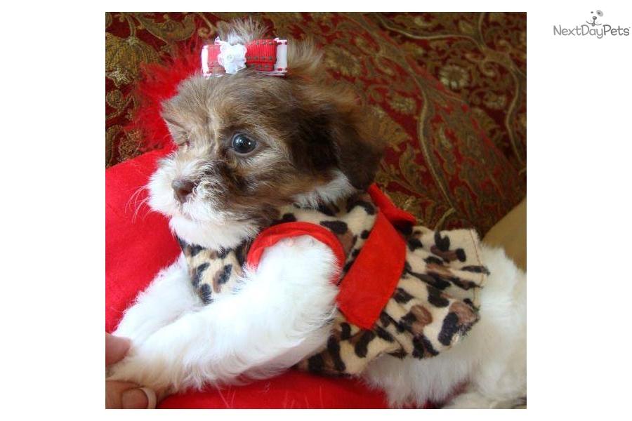 chocolate maltipoo puppies - photo #36