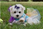Picture of Adorable Little Maltese SweetTart!