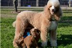 Picture of Red and White Valentine Poodle Jaguar!