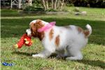 Picture of Stunning Red Parti Poodle Gal Majesty!