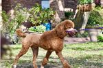 Picture of Stunning Parti Poodle Gal Heather!