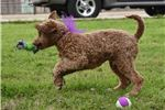 Picture of Gorgeous Red Poodle Boy Morgan