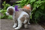 Picture of Gorgeous Poodle Gal Paige!