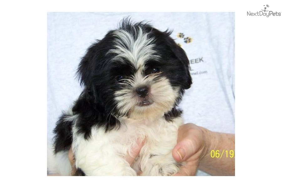 shih tzu puppy names girl female shih tzu hairstyles hairstylegalleries com 9455
