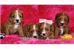 American English Coonhound for sale