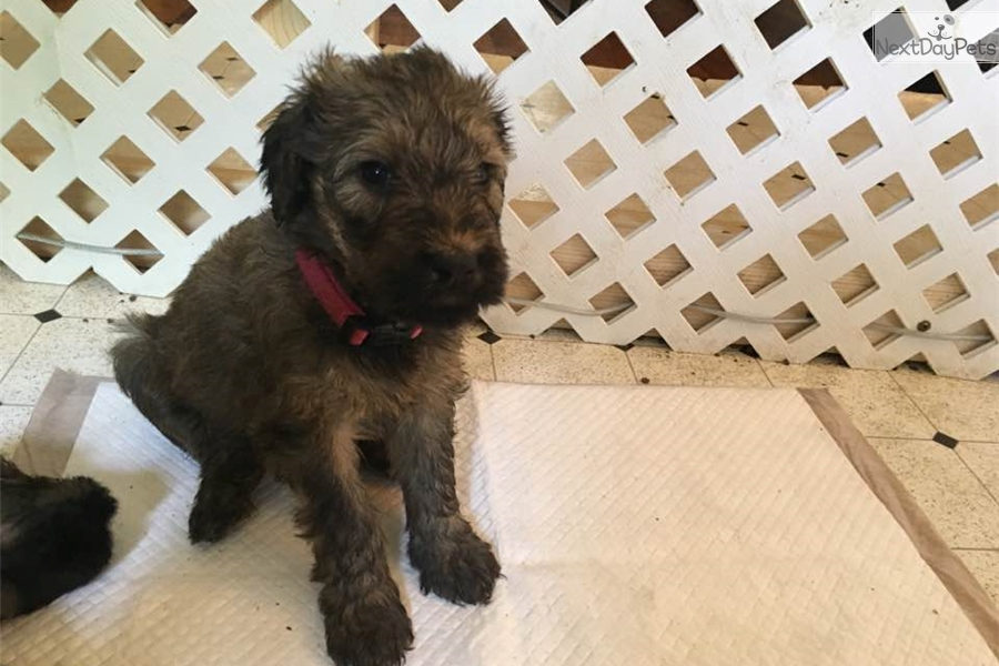 Briard Puppy For Sale Near Roswell Carlsbad New Mexico 3642b5d1