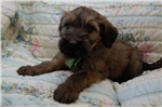 Picture of a Briard Puppy