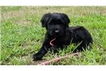 Picture of Blackstone's Puppy Boy 1